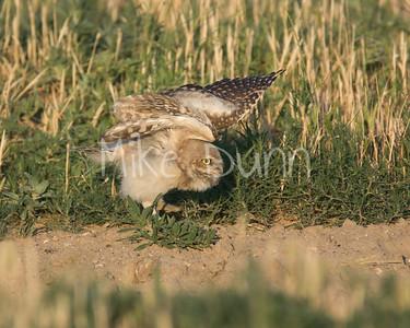 Burrowing Owl-69