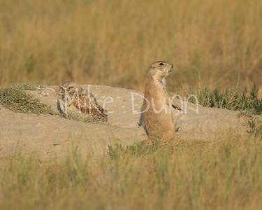 Burrowing Owl-75
