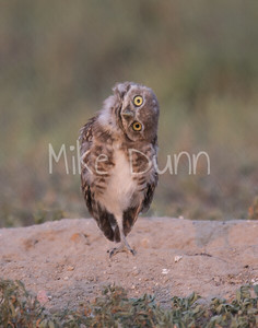 Burrowing Owl-80