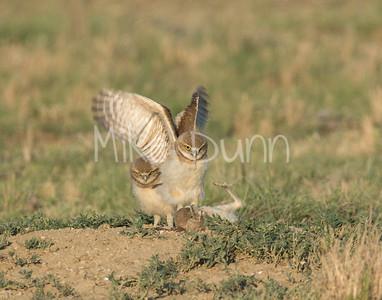 Burrowing Owl-63