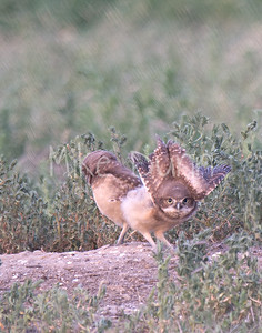Burrowing-Owl-77