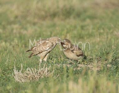 Burrowing Owl-53