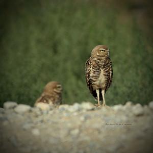 Owl blured