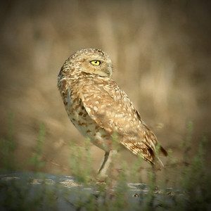 drain owl sq – Version 4