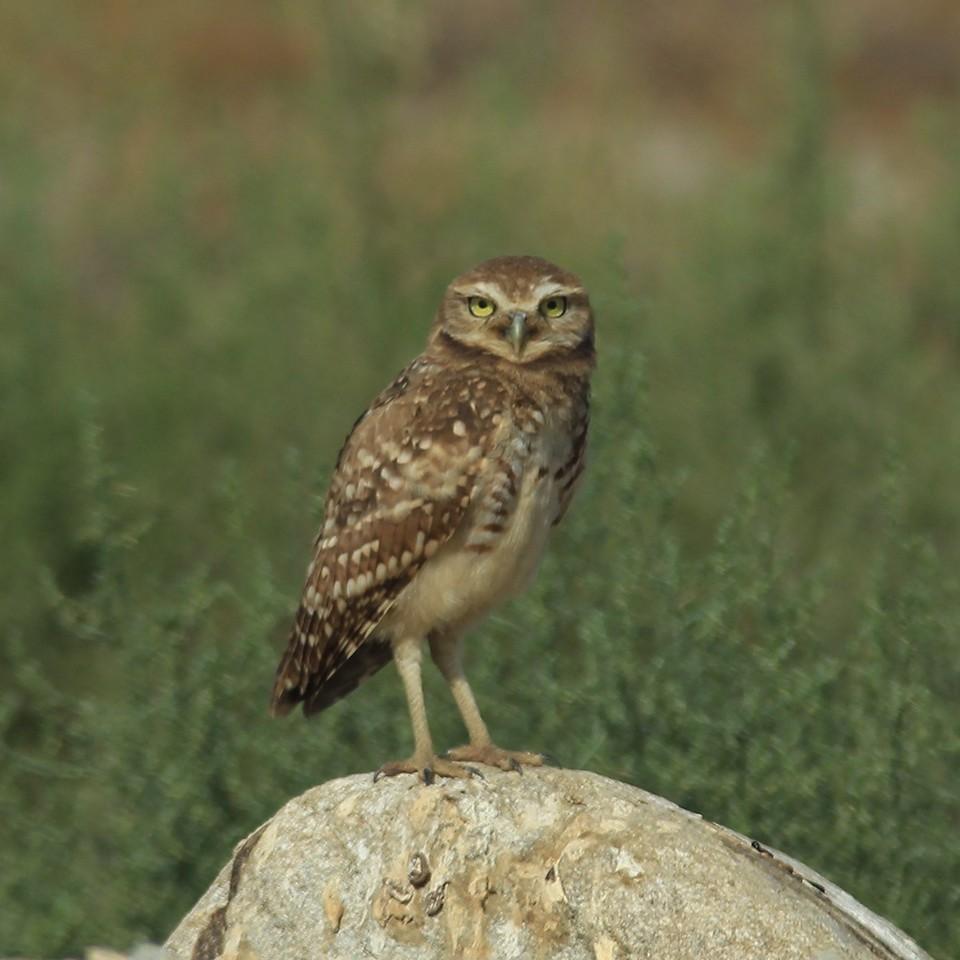 owl on rock