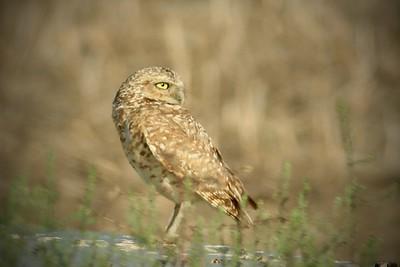 real close drain owl 4 x 6