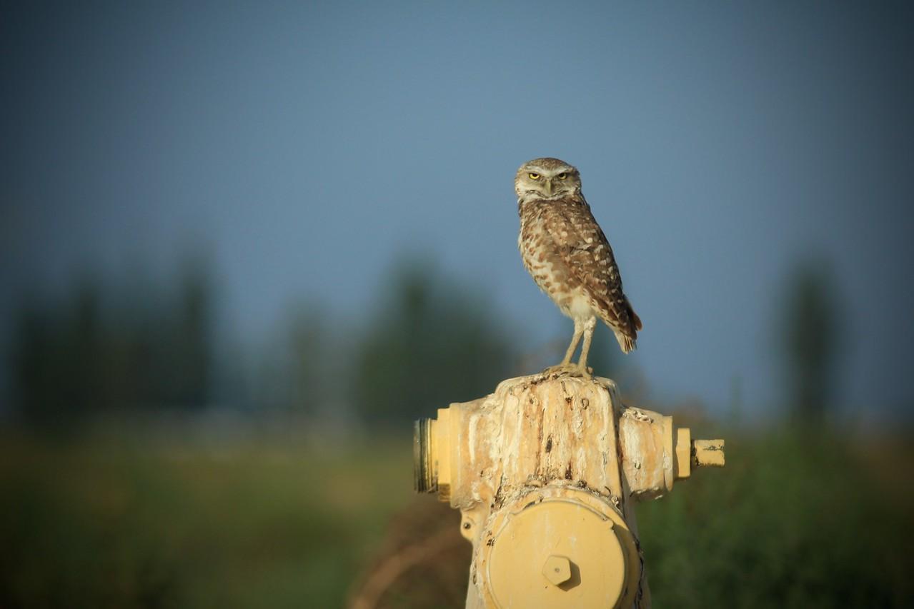 burring owl 4 x 6