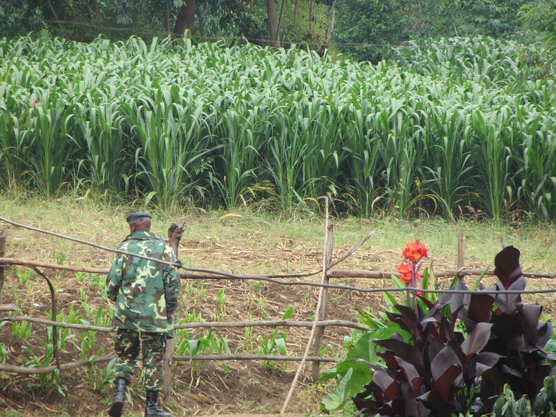 Soldier and corn field.JPG