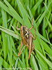 23 Sep 2010 - Roesel's Bush-cricket (Metrioptera roeselii) at Plant Farm, Waterlooville. Copyright Peter Drury 2010