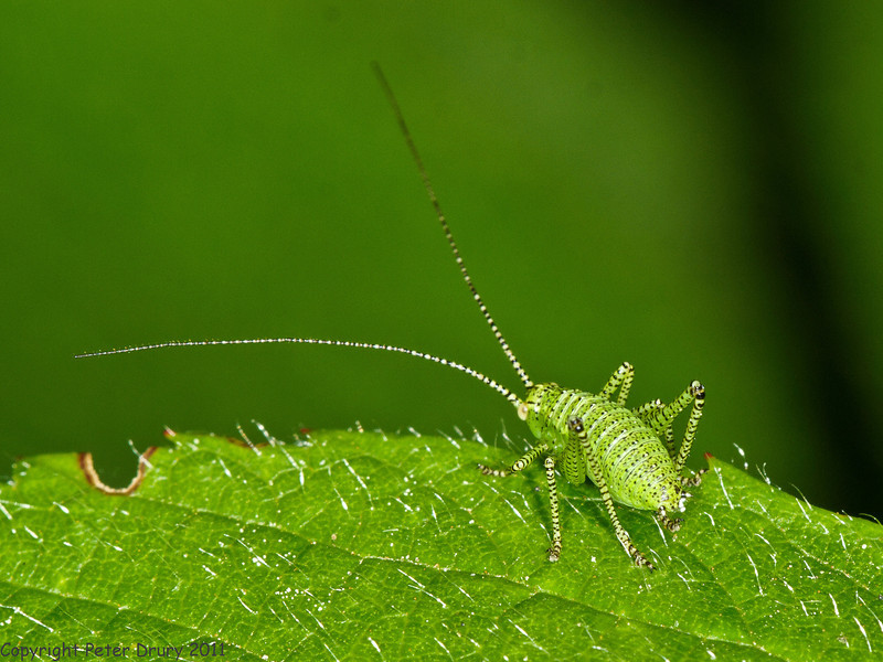 31 May 2011. Speckled bush cricket (Leptophyes punctatissima) nymph at Creech Wood, Denmead. Copyright Peter Drury 2011