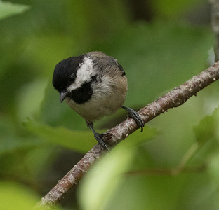 Black-capped Chicadee Cullaby Lake County Park Oregon 2017 08 22-2.CR2