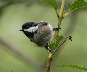 Black-capped Chicadee Cullaby Lake County Park Oregon 2017 08 22-5.CR2