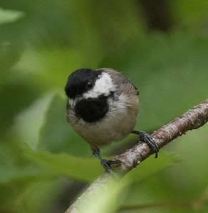 Black-capped Chicadee Cullaby Lake County Park Oregon 2017 08 22-1.CR2