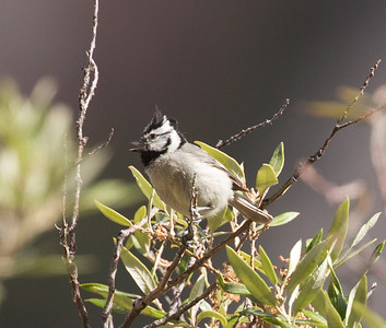 Bridled Titmouse  Mt  Lemmon Arizona 2016 05 01-2.CR2