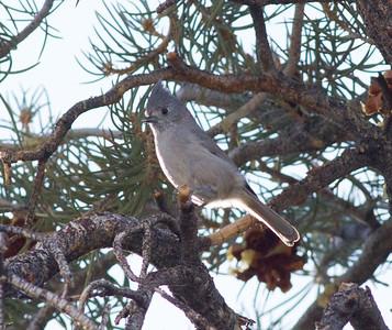 Juniper Titmouse Upper Owens River Gorge Road  2014 11 27-2.CR2
