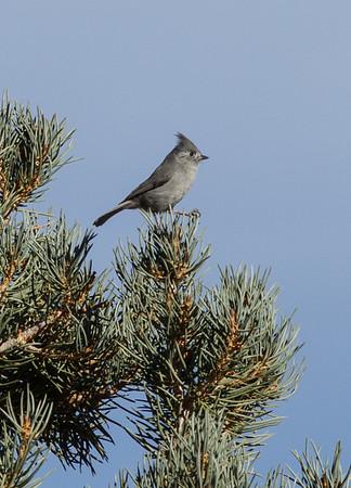 Juniper Titmouse Upper Owens River Gorge Road  2014 11 27-3.CR2