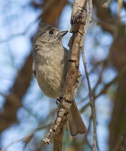 Oak Titmouse  Guajomi Park  2012 04 18-2.CR2