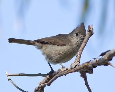 Oak Titmouse  Guajomi Park  2012 04 18-3.CR2