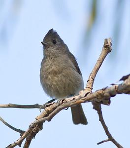 Oak Titmouse  Guajomi Park  2012 04 18-5.CR2