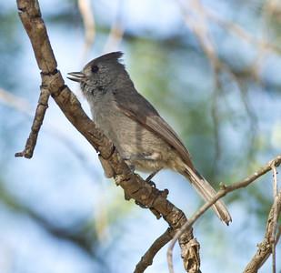 Oak Titmouse  Guajomi Park  2012 04 18.CR2