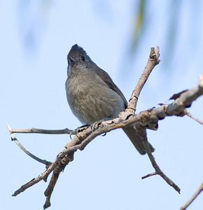 Oak Titmouse  Guajomi Park  2012 04 18-4.CR2