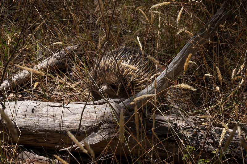 Keep an eye open for the occasional Echidna