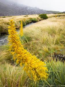 Golden Spaniards (Aciphylla aurea)