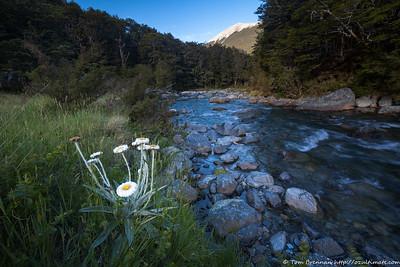 Mountain Daisy (Celmisia spectabilis spectabilis)