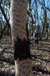 Scribbly Gum bark patterns