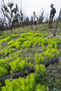 Stylidium laricifolium
