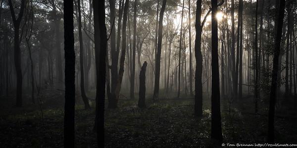 Morning mist filtering through the trees at Wattle Ridge