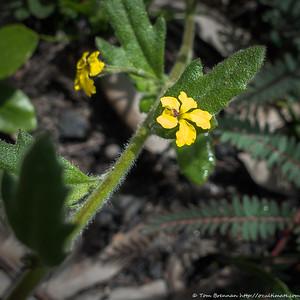 Hibbertia sp