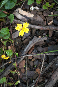 Goodenia hederacea (Ivy Goodenia)