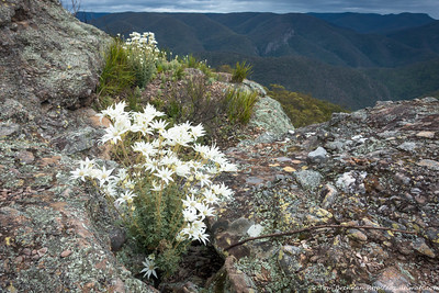 Actinotus helianthi (Flannel Flowers) aplenty at Knights Deck