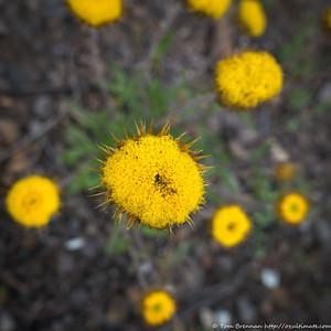 Wildflower (Daisy?)