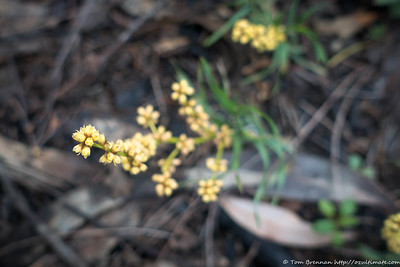 Lomandra obliqua