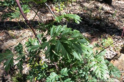 Lomatia silaifolia (Parsley Fern)