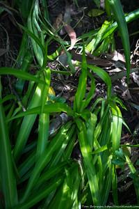 Chlorophytum comosum (Spider Plant, weed), Lane Cove NP