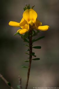 Pultenaea tuberculata, Lane Cove NP