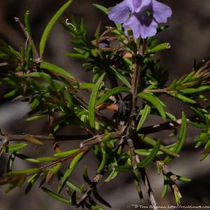 Hemigenia purpurea, Lane Cove NP