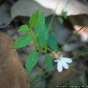 Lobelia purpurascens (White Root), Lane Cove NP