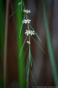 Baeckea linifolia, Lane Cove NP