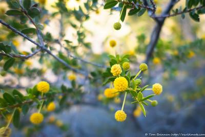 Acacia strongylophylla