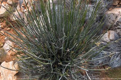 Cynanchum viminale  australe (Caustic Bush)