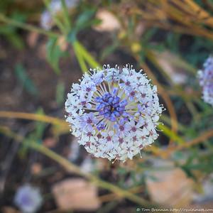 Trachymene glaucifolia (Wild Parsnip)