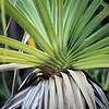 Screw palm at Crystal Falls, Jatbula Trail, Nitmiluk National Park, Northern Territory.
