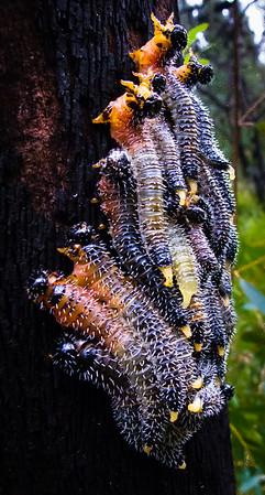 Saw Fly larvae, Blue Mtns National Park