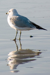 Manhatten Beach Sea Gull