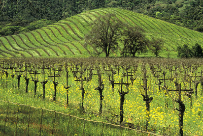 Vineyards in Napa Valley.