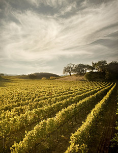 Napa , CA - October 30 : A wine vineyard just before the crush in Napa Valley, California, USA .  ( Photo by Paul Giamou / Aurora )
